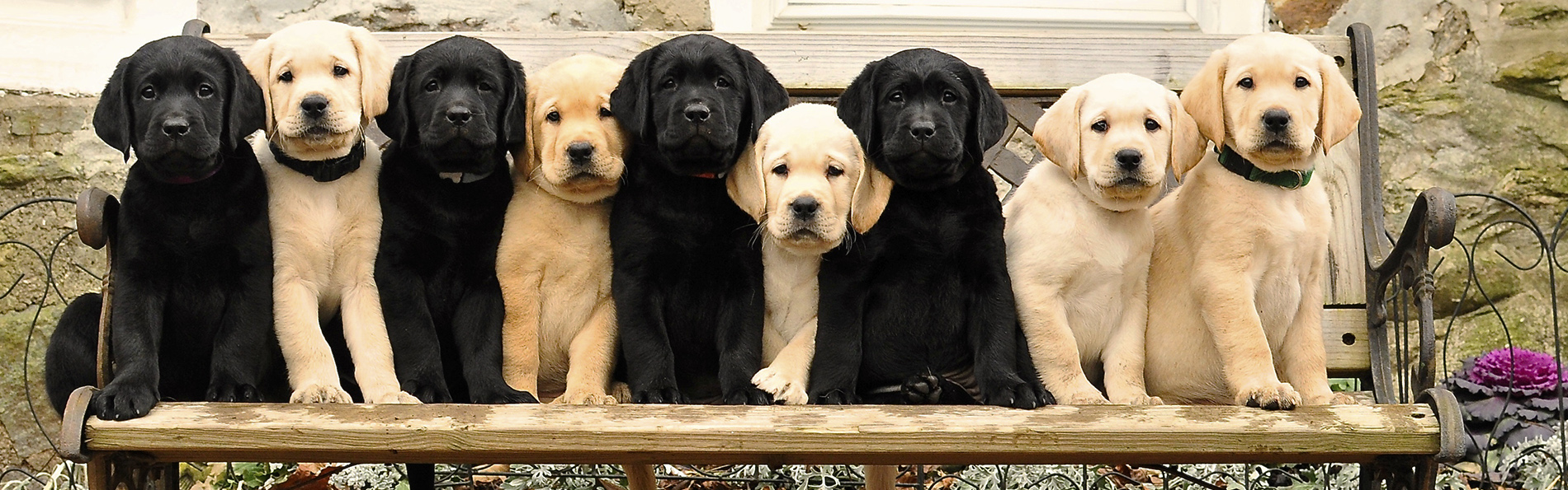 A tiny black lab puppy